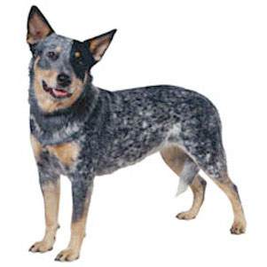 Australian Cattle Dog Dog Breed Information - Continental ...