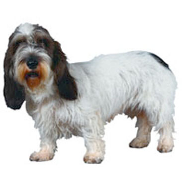 Basset griffon vendeen petit dog breed information - Petit basset griffon vendeen breeders toulon ...