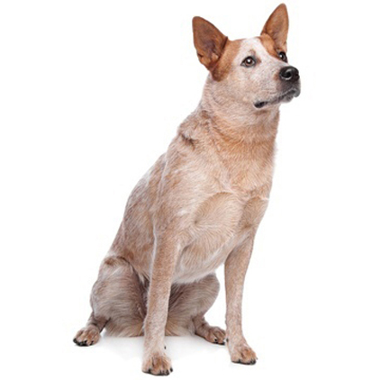 Kennel Club Australian Cattle Dog