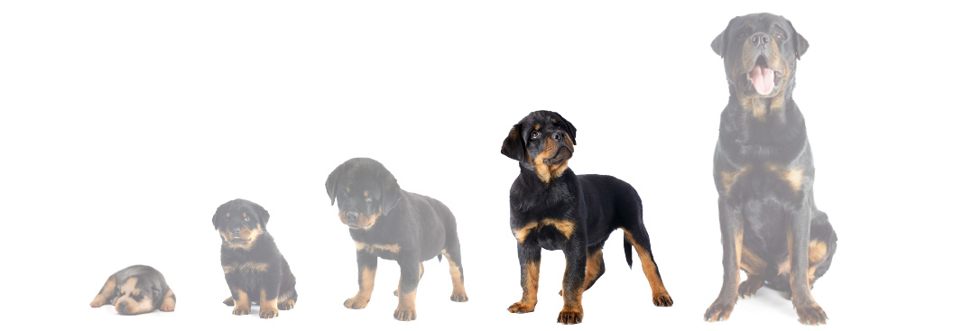 Puppy Development Stages 5 And 6 Juvenile And Adolescent Periods