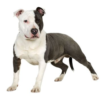 american pit bull terrier dog breed information - continental kennel