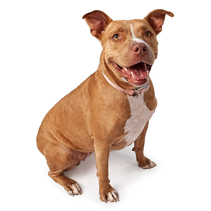 American Pit Bull Terrier Dog Breed Information