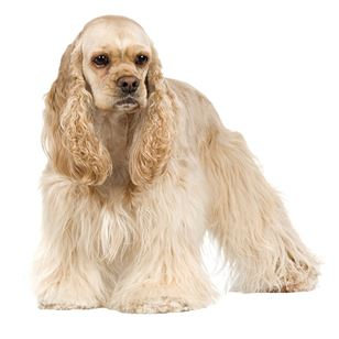 cocker spaniel origin cocker spaniel dog breed information continental kennel club 5019