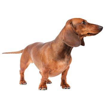 Dachshund Dog Breed Information - Continental Kennel Club