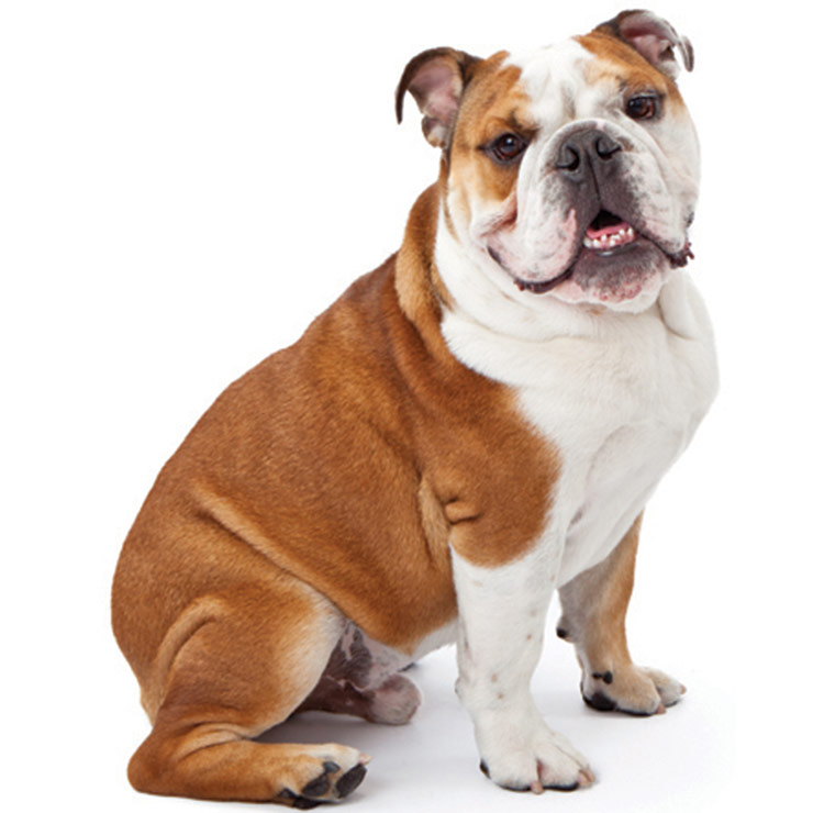 How to Identify an English Bulldog