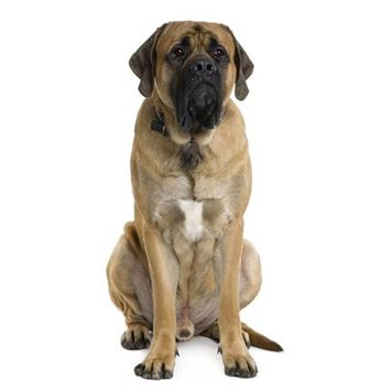 old english mastiff dog breed information - continental kennel club