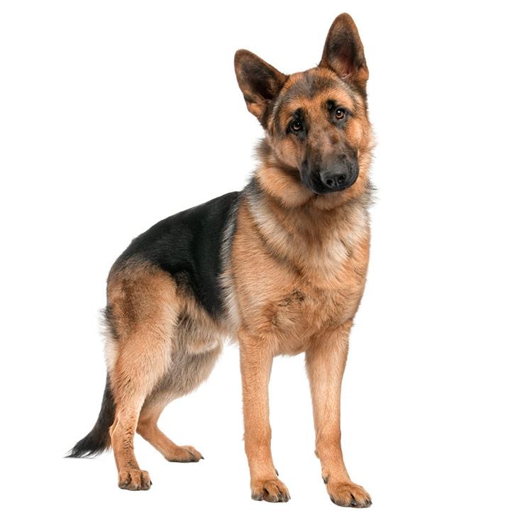 German shepherd breed overview