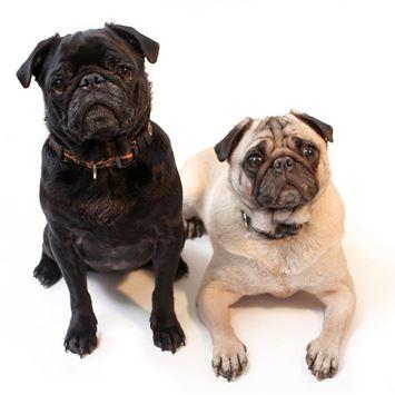 Pug Dog Breed Information Continental Kennel Club