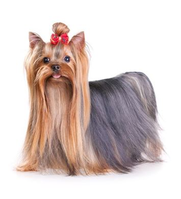YorkshireTerrier.jpg