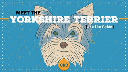CKC-breed-profile_Yorkshire_Terrier_preview.jpg