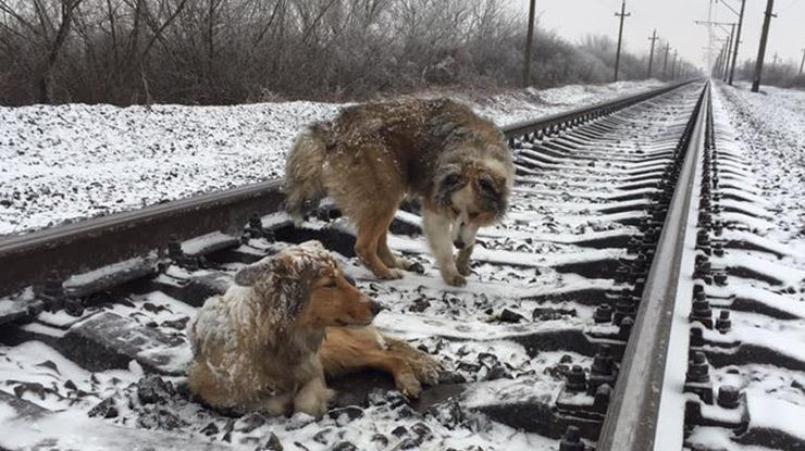 Fearless dog stands guard and keeps wounded friend warm on snow fearless dog stands guard and keeps wounded friend warm on snow covered train tracks publicscrutiny Choice Image