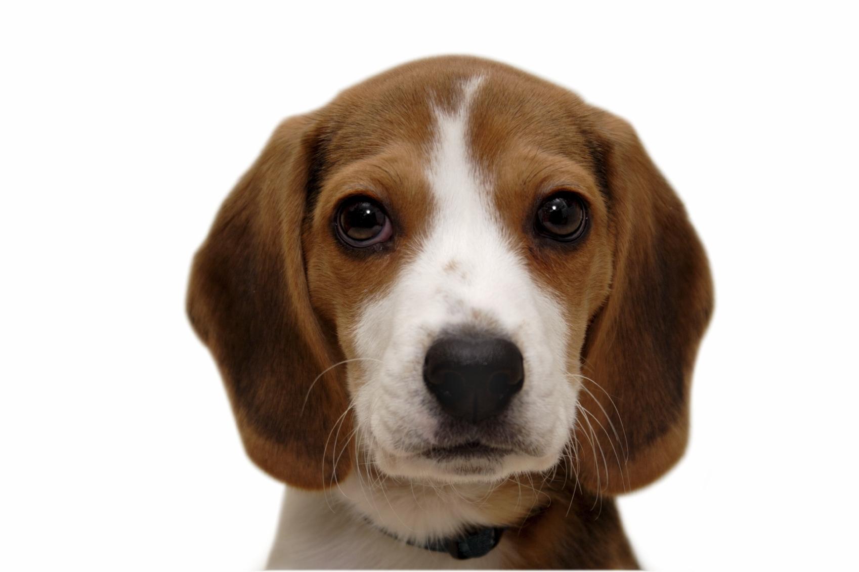 A Beagle Puppy Beagle Dog Breed Infor...