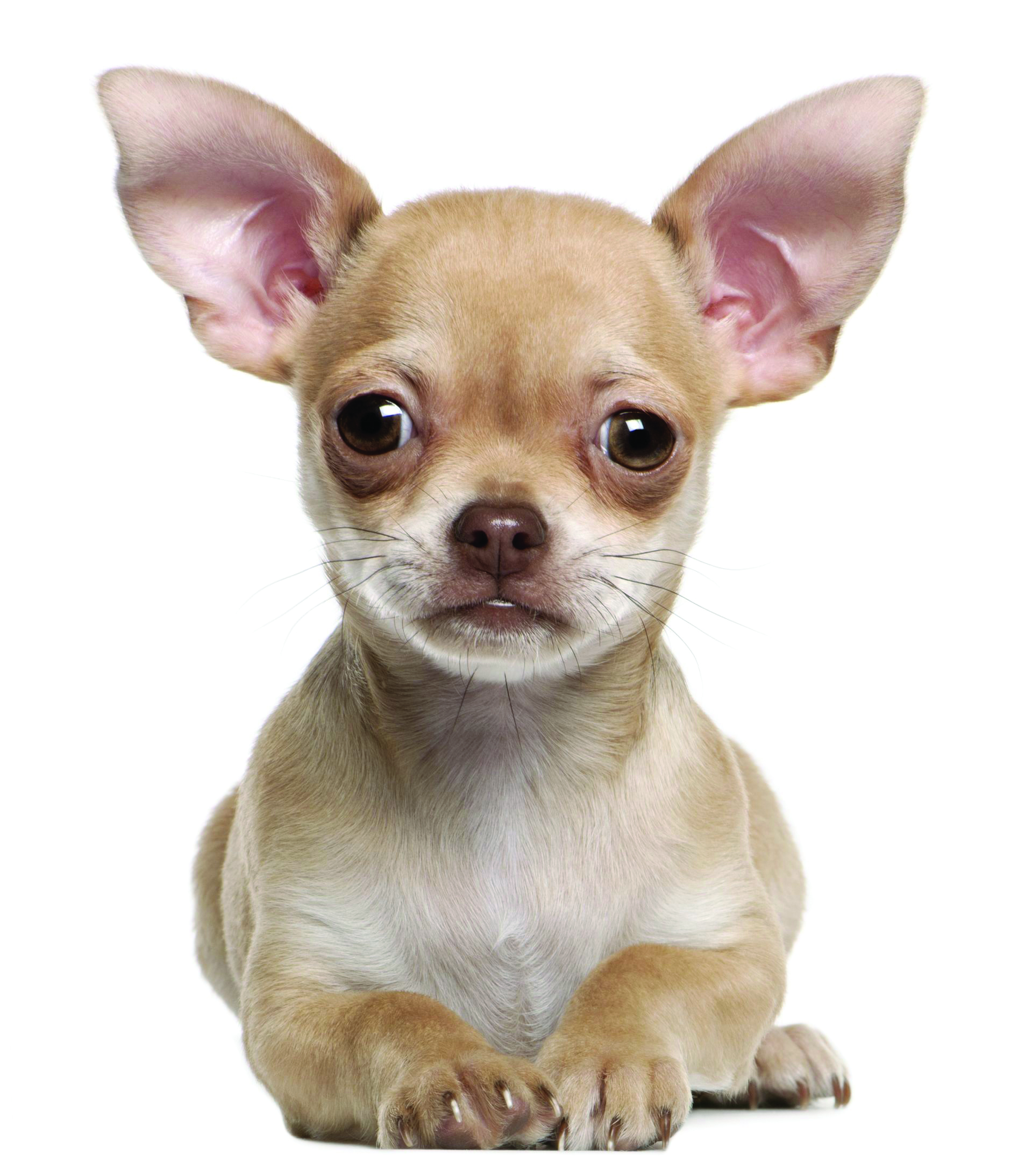 Chihuahua Dog Breed Information Continental Kennel Club