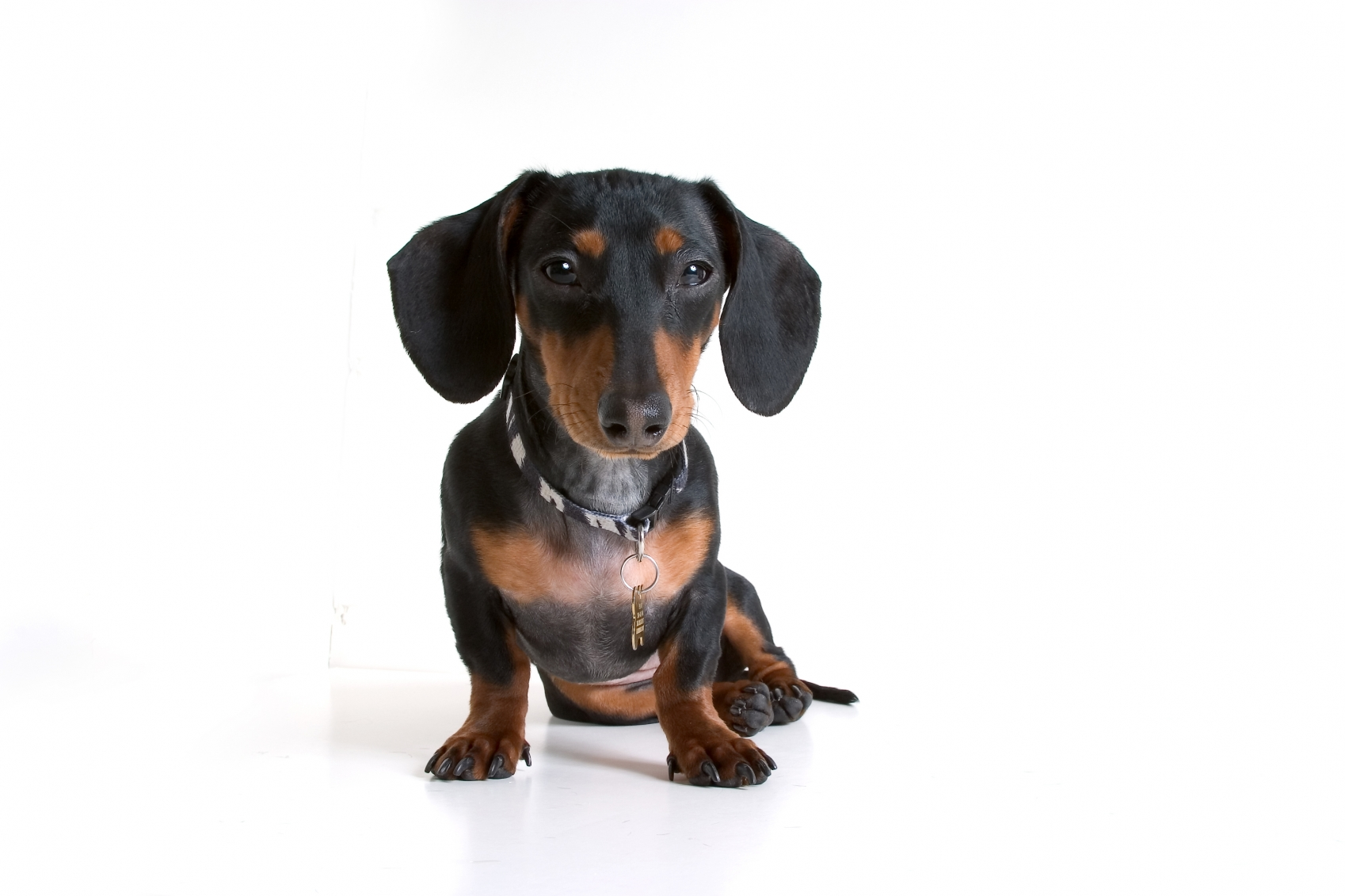 Dachshund Dog Breed Information - Continental Kennel Club