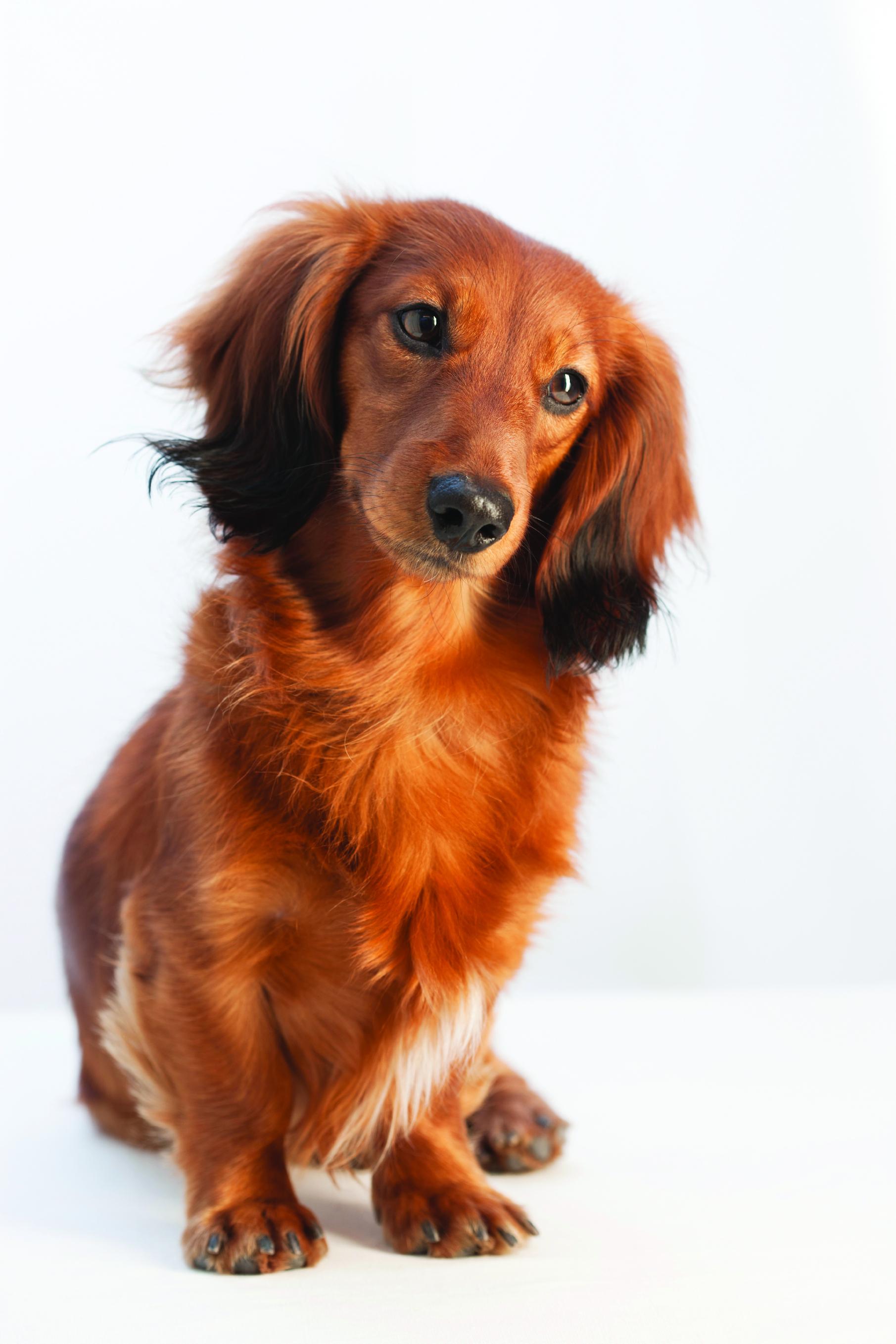dachshund dog breed information continental kennel club