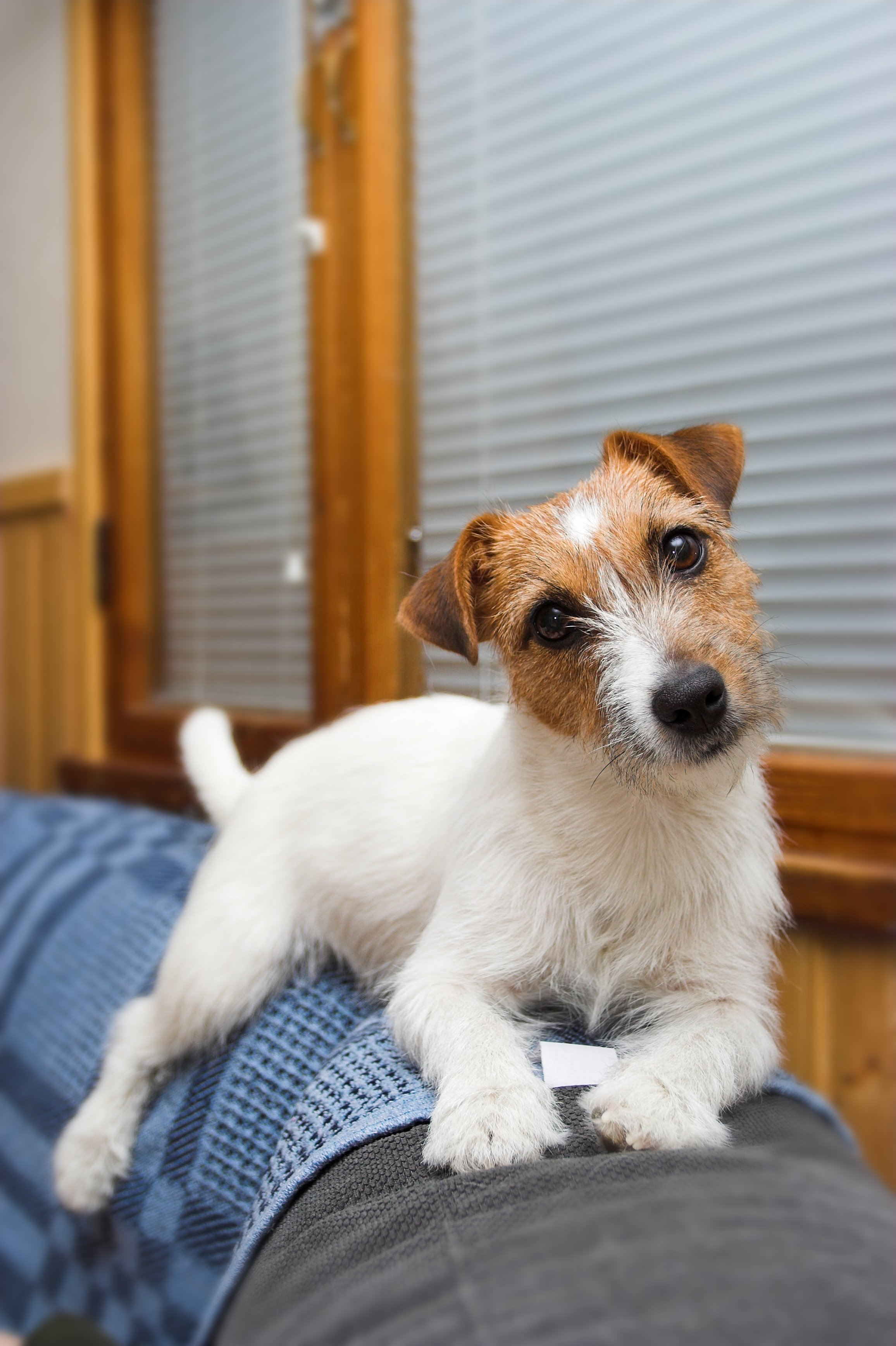 Club jack russell terrier