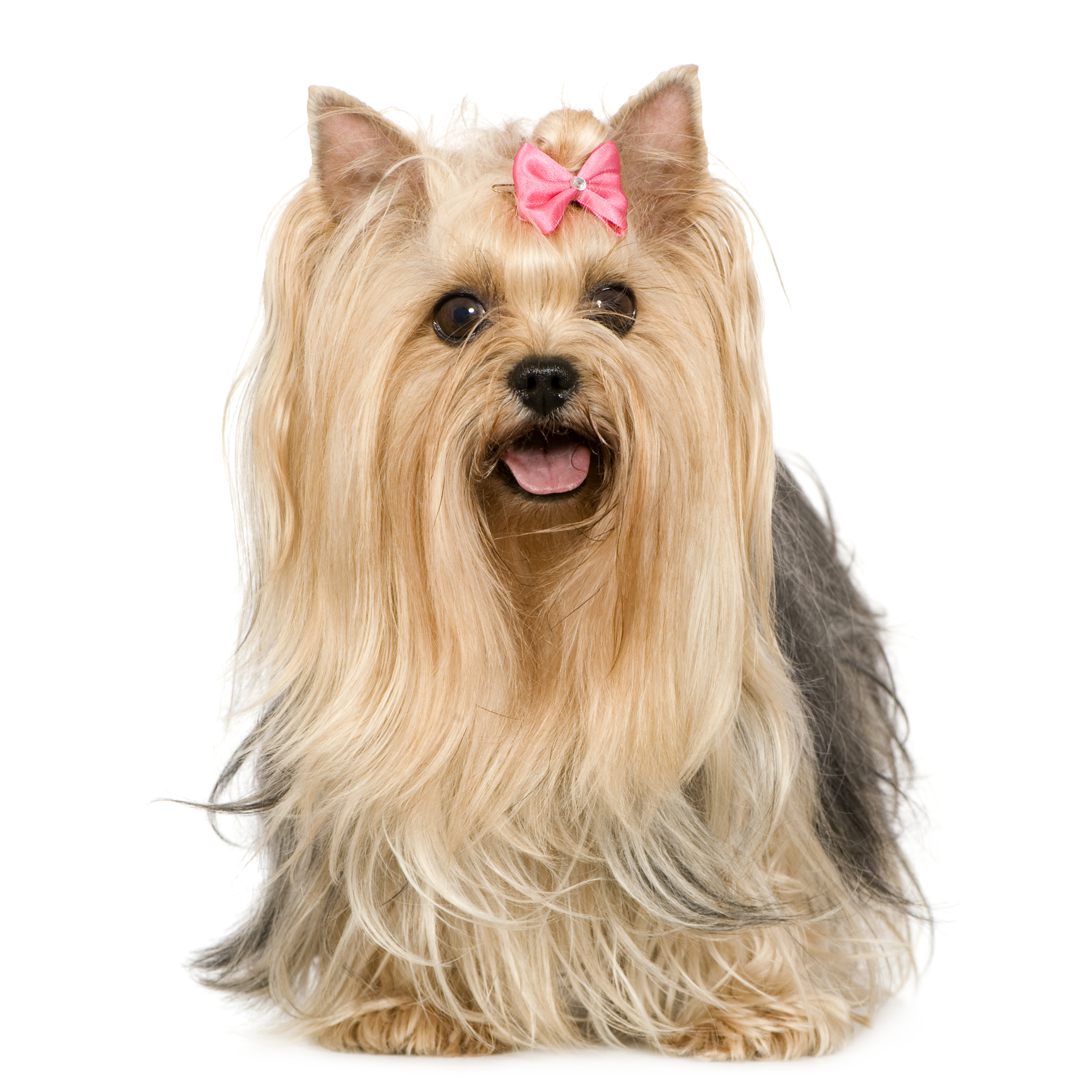 yorkie terrier breed yorkshire terrier dog breed information continental 4887