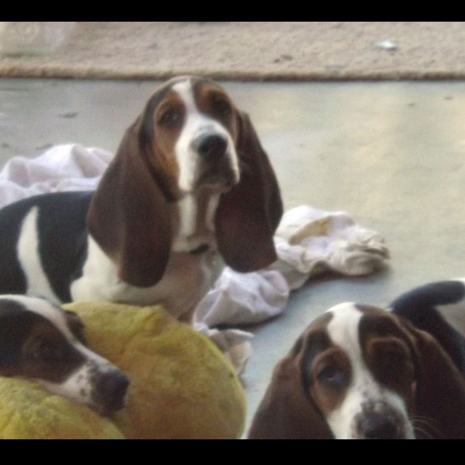 Husky puppies for sale yucca valley - Campbell Basset Hounds