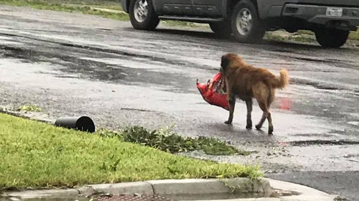 Photo-of-Dog-Carrying-Bag-of-Food-Through-Hurricane-Ravaged-Streets-Goes-Viral.jpg