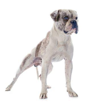 Alapaha Blue Blood Bulldog Dog Breed Information Continental