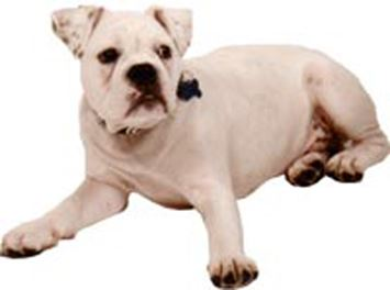 Altman White English Bulldog.jpg