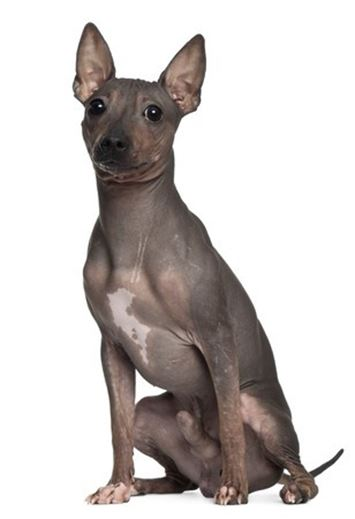 American Hairless Terrier.jpg