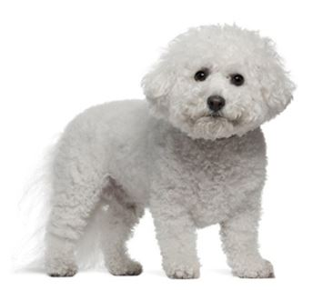 bichon frise dog breed information continental kennel club