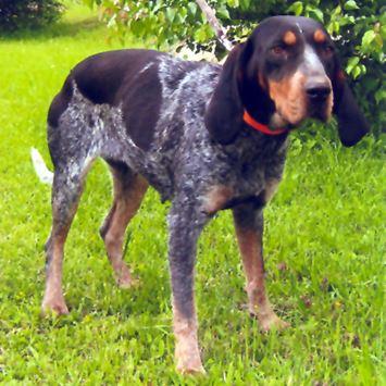 Bluetick Coonhound Dog Breed Information - Continental ...
