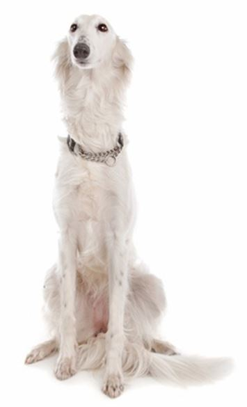 Longhaired Whippet Dog Breed Information Continental