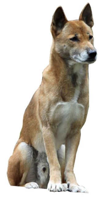 New Guinea Singing Dog Dog Breed Information Continental
