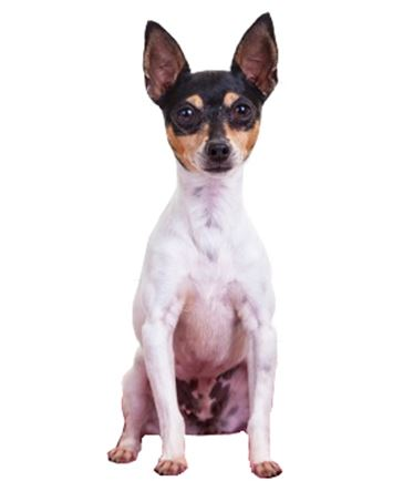 Toy Fox Terrier Dog Breed Information - Continental Kennel Club