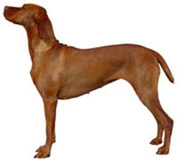 Vizsla Dog Breed Information Continental Kennel Club