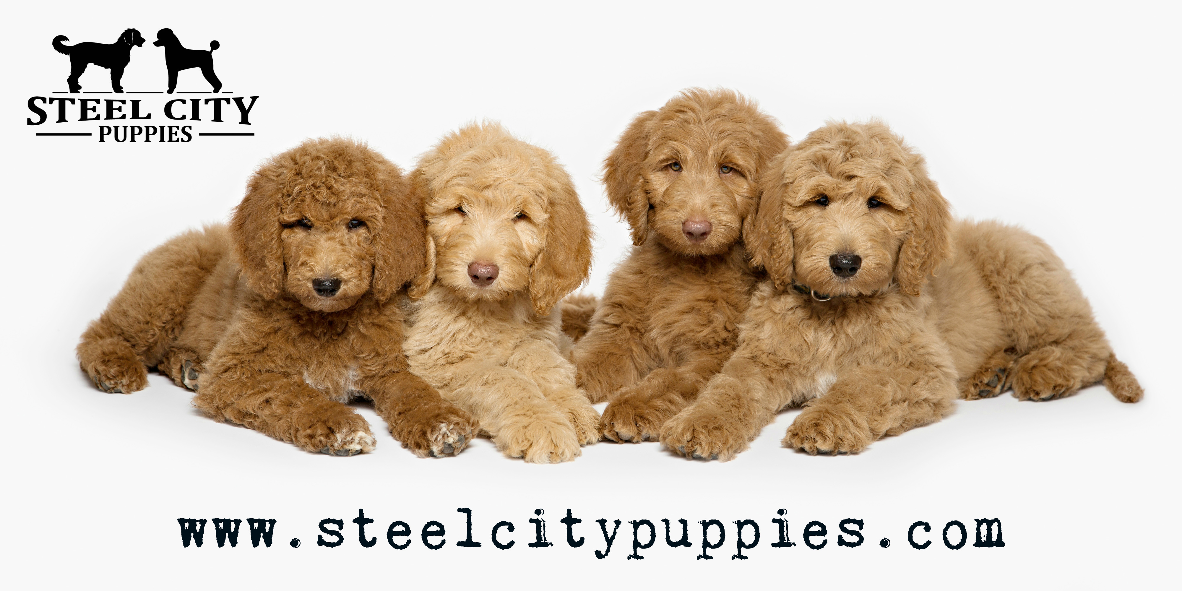 Ckc Registered Poodle Standard Goldendoodle Labradoodle Puppies
