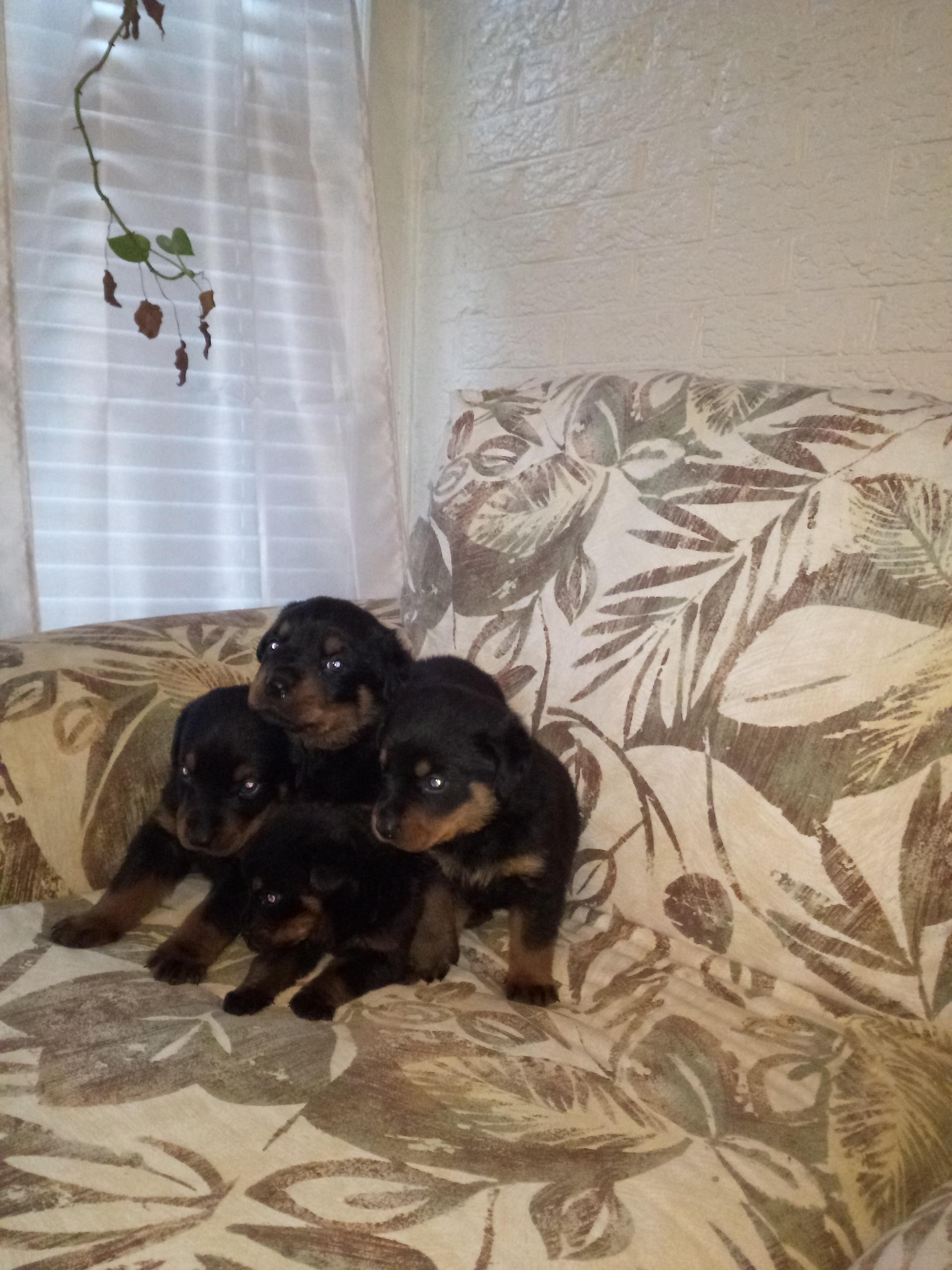 Ckc Registered Rottweiler Puppies For Sale Durham Nc