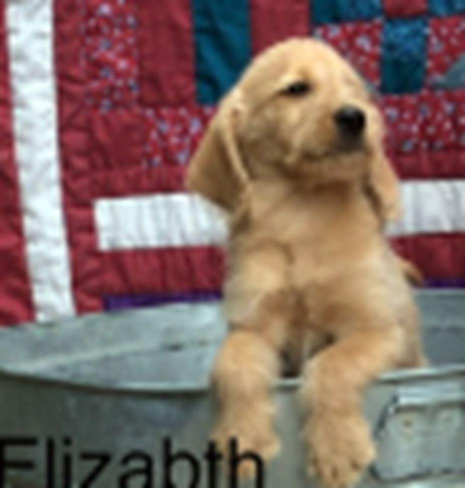 Ckc Registerd Labradoodle Puppies For Sale Gadsden Al