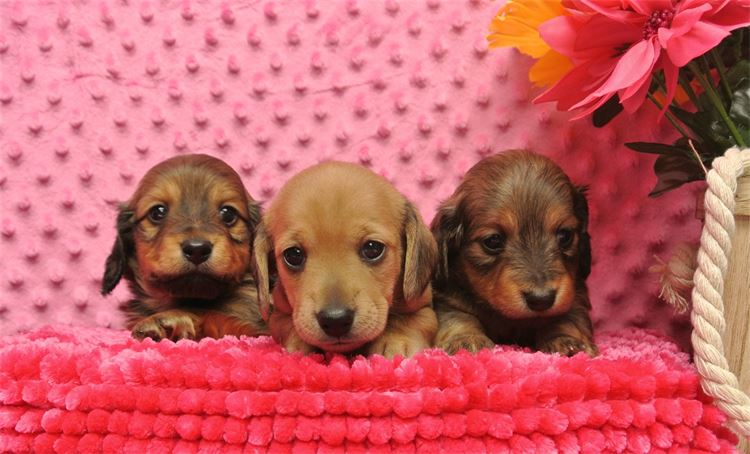 CKC Registered Miniature Dachshund puppies for sale