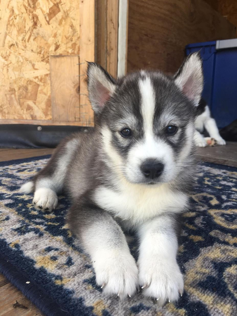 CKC Registered Siberian Husky puppies for sale – Conway, SC
