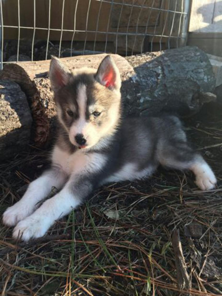 Ckc Registered Siberian Husky Puppies For Sale Conway Sc