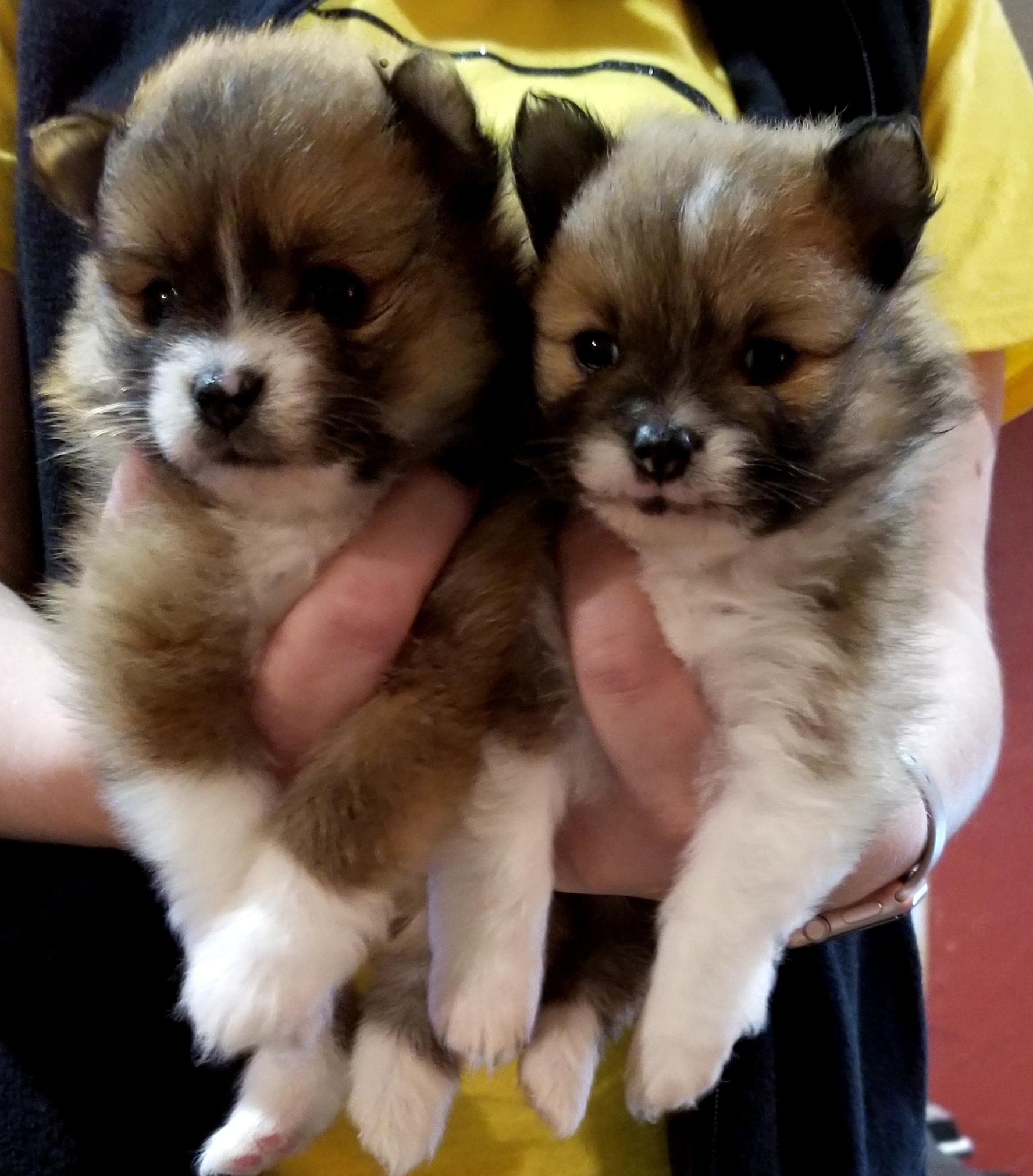 Ckc Registered Pomeranian Puppies For Sale Robinson Tx