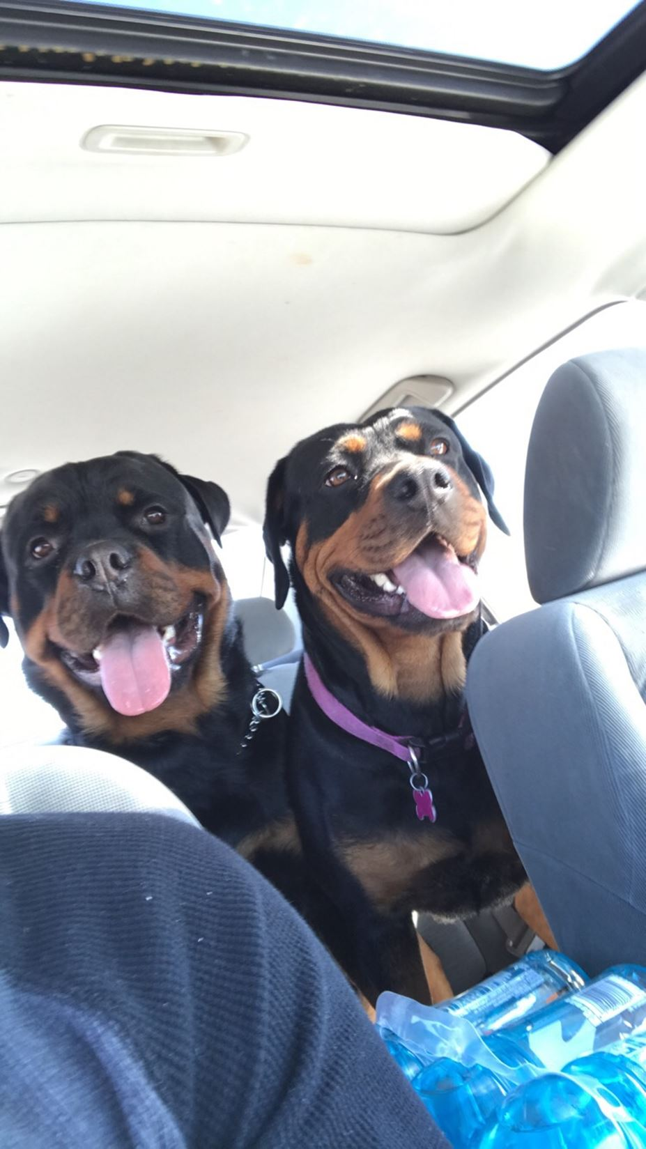 Ckc Registered Rottweiler Puppies For Sale Lakewood Co