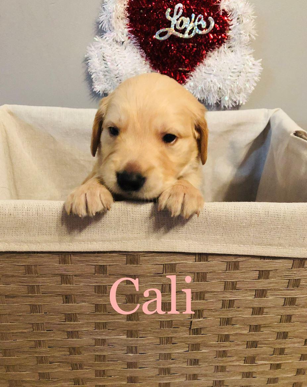 Ckc Registered Golden Retriever Puppies For Sale Panama City Fl