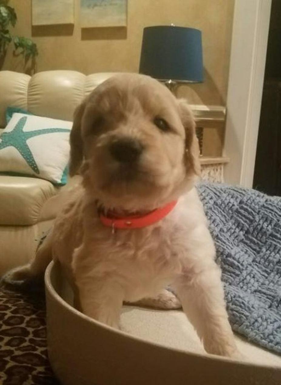 CKC Registered Golden Doodle puppies for sale – Kingsport, TN