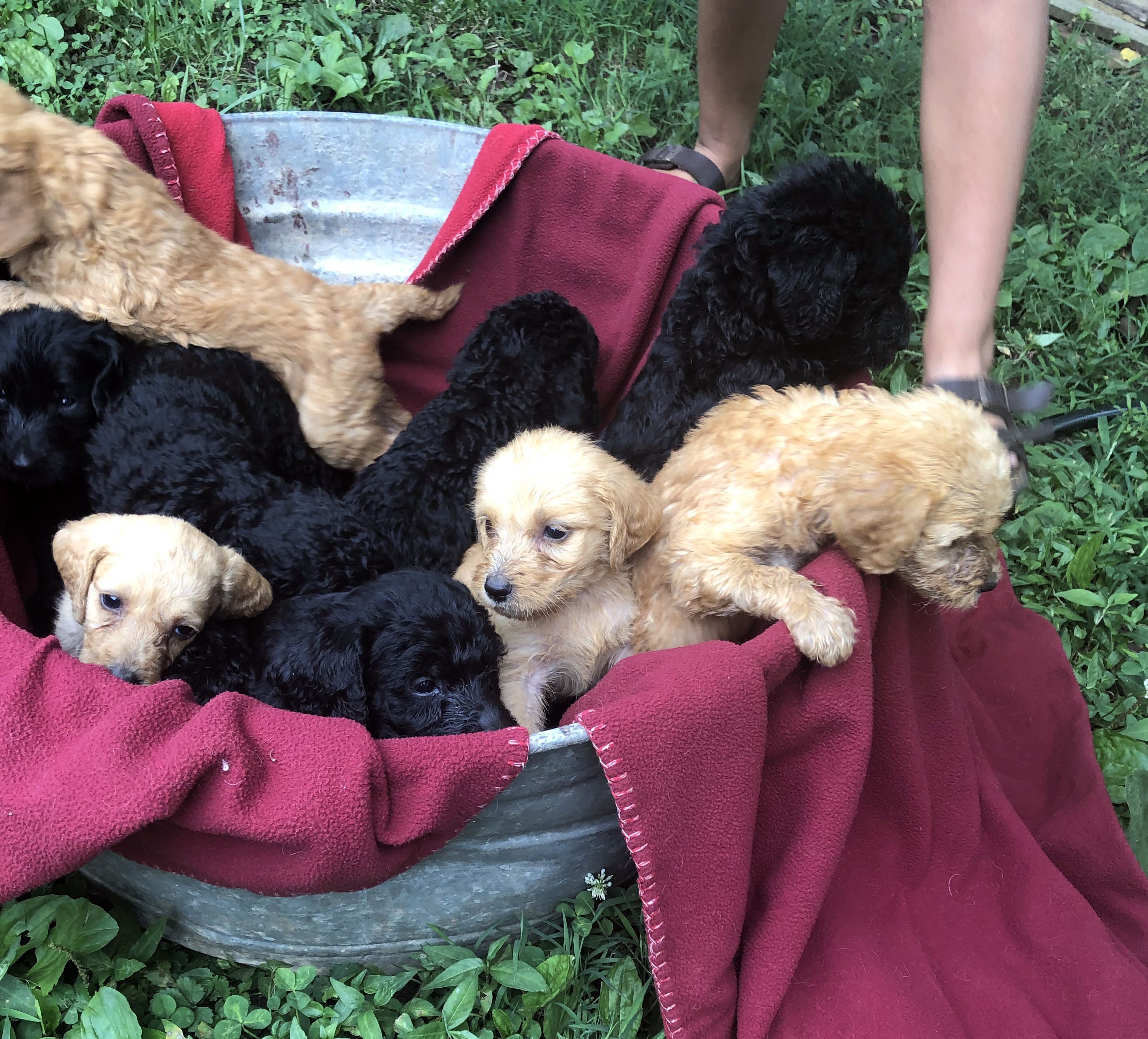 CKC Registered Labradoodle puppies for sale – Linwood, NC