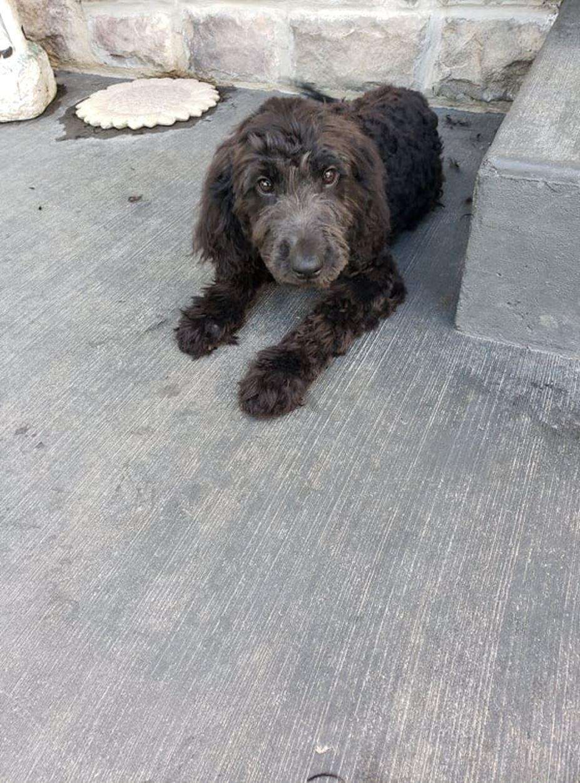 CKC Registered Golden doodle puppies for sale – Pierron, IL