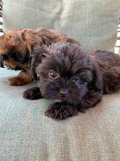 Puppies for Sale - CKC