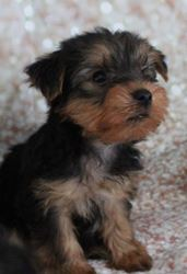 Puppies for Sale - CKC