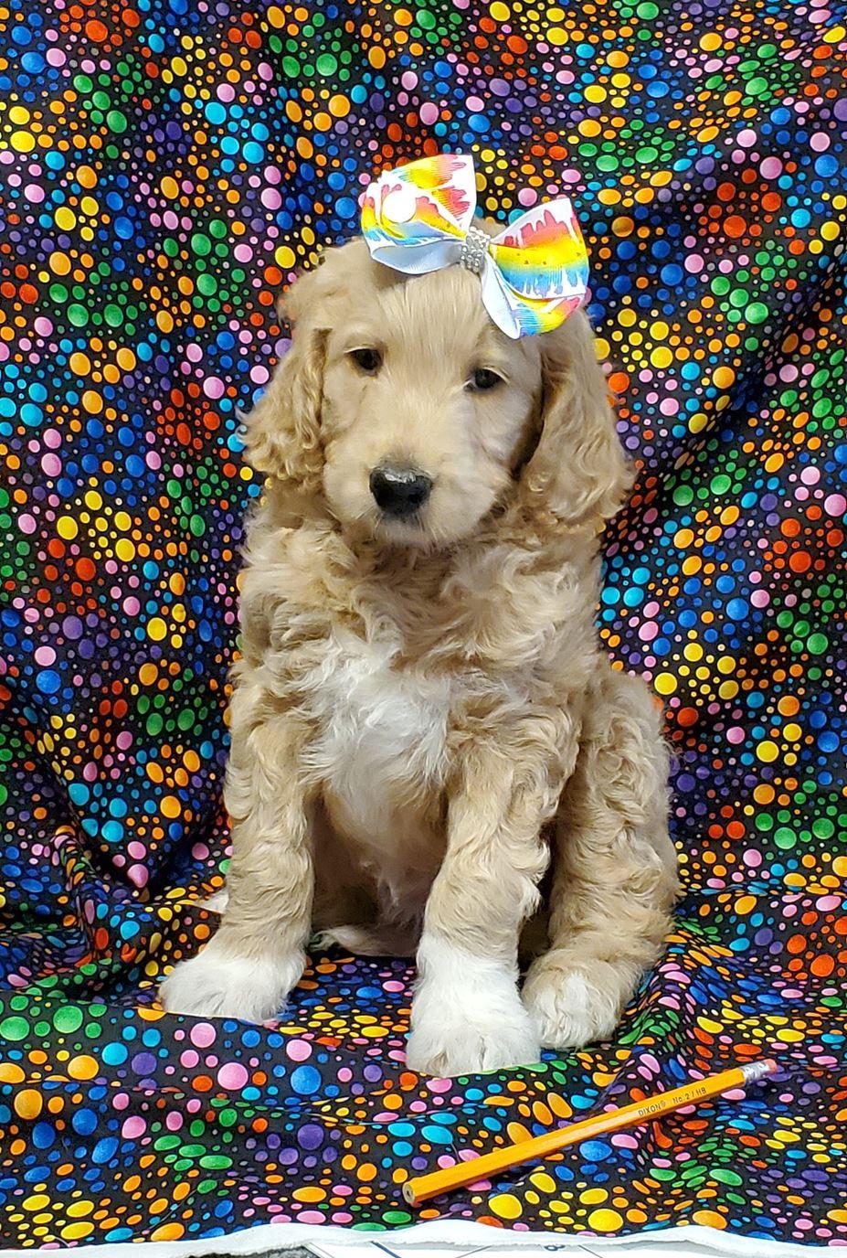 Ckc Registered Golden Doodle Puppies For Sale Jonesville Mi